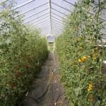 Wk 28 Training Tomatos