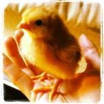Spring Chicks!!!